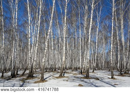 Birch Grove On A Sunny Day In Early Spring In Siberia, Kemerovo Region-kuzbass