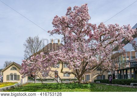 Big Blossoming Magnolia Tree With House Of Government Of Brugg City. Brugg, Switzerland - 5. April 2