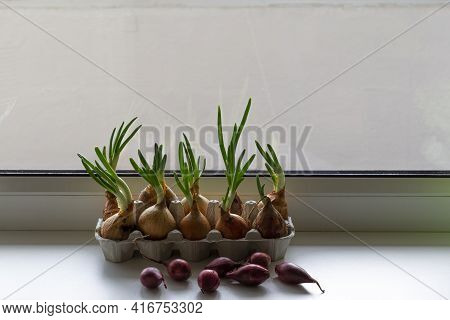 Sprouting Green Onions In Eggs Package And Red Onions. Recycling Idea. Spring Backgrounds