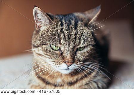 Funny Portrait Arrogant Short-haired Domestic Tabby Cat Relaxing At Home. Little Kitten Lovely Membe