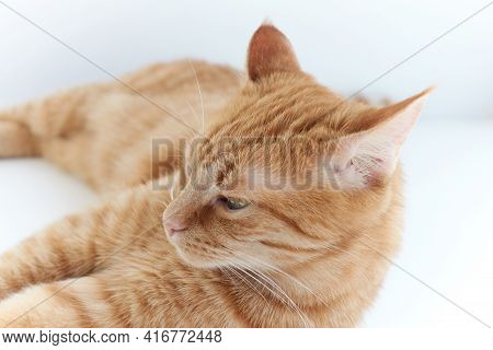 Adorable Fluffy Domestic Ginger Cat Lying Down Relaxing Or Napping On White Table. Feline Concept. H