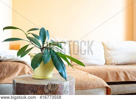 Stylish Trendy Home Real Interior With Green House Plant Ficus On Round Wooden Stump. Copy Space.