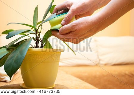 Womens Hands Wipe With Wet Sponge Green Leaves Of House Plant Ficus Standing In Living Room With Cou