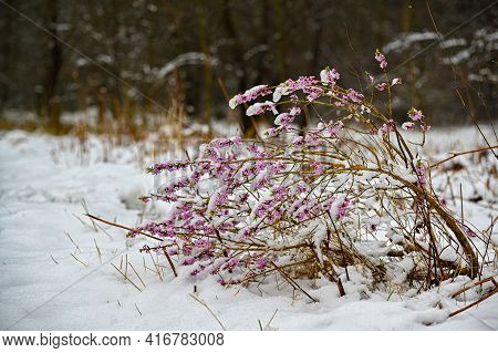 A Tibast Bush Having A Tough Day In Snow And Ice