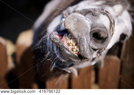 Close-up Of The Face Of Pony Looking At Camera At The Zoo. Animals In Captivity