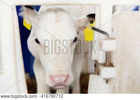 Cute White Calf In A Calf Barn On A Dairy Farm. Calf Head, Close-up. Milk Production, Agriculture.