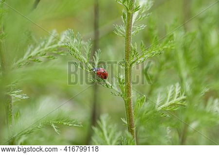 Red Spring Ladybug Insect Living On Wild Meadow Ecosystem, Animal Wildlife Nature