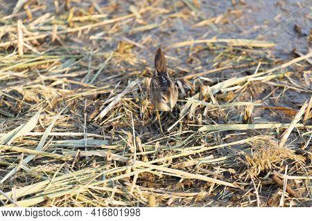 Close Up Of A Juvenile Little Crake(zapornia Parva) Foraging At A Pond