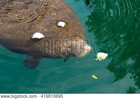 Crystal River Manatee In National Wildlife Refuge, Florida, United States.the Caribbean Manatee, Tri