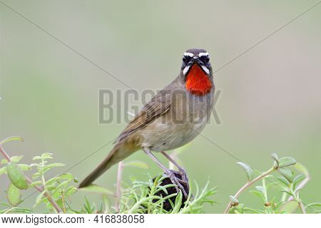 Beautiful Brown Bird With Bright Red Feathers On Its Chin Happily Perching On Dirt Pole Among  Green