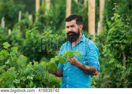 Wine Making. Man Grabbing Grape In Vineyard. Harvester Cutting Bunch Of Grapes In Vineyard Rows