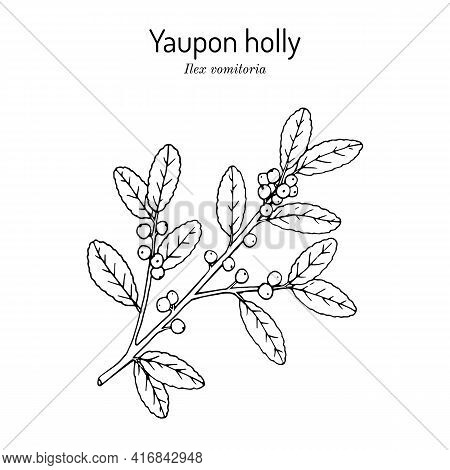 Yaupon Holly Ilex Vomitoria Tree Branch With Green Leaves And Red Berries. Hand Drawn Botanical Vect
