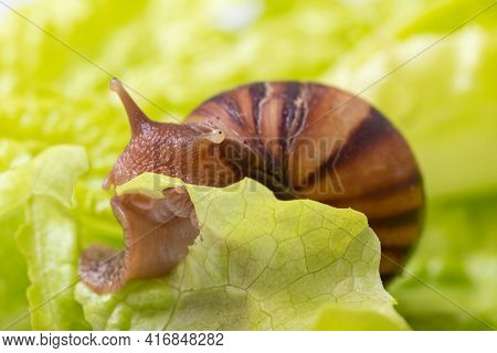 Little Achatina Snail Eating A Lettuce Or Herb Leaf, Close-up, Selective Focus. Snail In Nature. Can