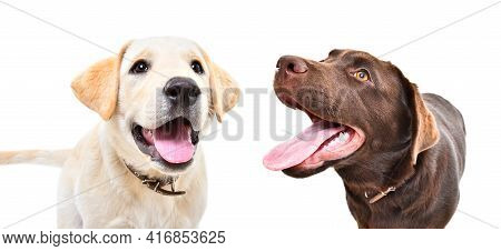 Two Funny Labrador Puppies Together Isolated On White Background