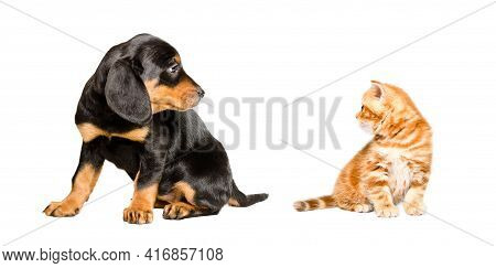 Slovakian Hound Puppy And Kitten Scottish Straight Sitting Together Isolated On White Background