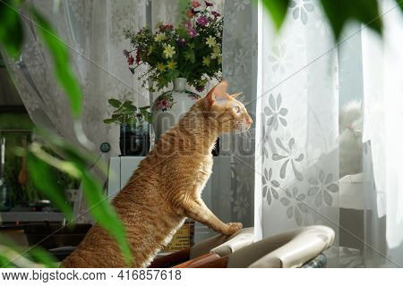 Red Cat Look Out Of Window With Curiosity, Standing On Chair