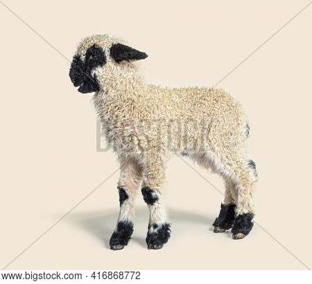 Profile of a lovely Lamb Valais Blacknose sheep three weeks old, isolated on beige