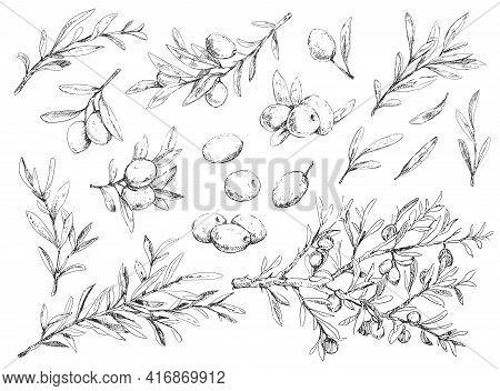 Big Set Of Olive Berries, Brunches And Foliage, Vintage Illustration On White Background