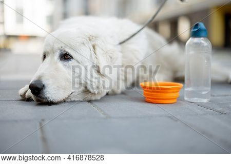 Big White Dog Lying On The Ground Near A Bowl Of Water In Courtyard Of The Residence. The Dog Is Thi