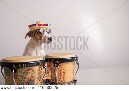 A Funny Dog In A Sombrero And Sunglasses Plays The Mini Bongo Drums. Jack Russell Terrier In A Straw