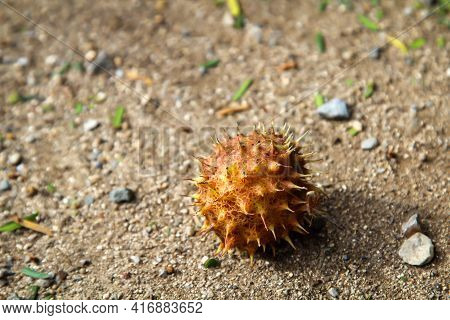 The Fruit Of A Chestnut Lies On A Sandy Ground.