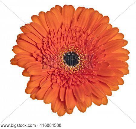 bright orange gerbera bloom isolated on white background