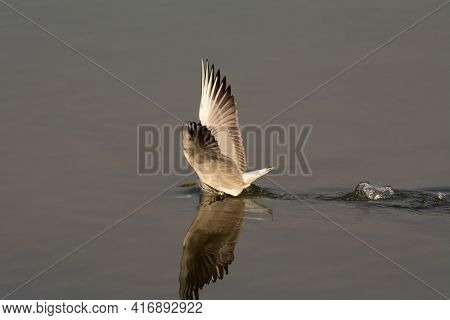 A Slender-billed Gull (chroicocephalus Genei), With It's Head Submerged In Water Hunting Fish In The