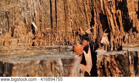 Stump After The Loggers In A Close-up Section Of Sticking Sawdust. Texture Of The Bark Of An Old Tre