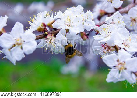 Tree Blossom, Blooming Tree, White Cherry Blossom, Blossom In Spring