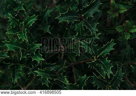 Unusual Plant With Green Sharp Prickly Leaves. Evergreen Prickly Coniferous Plant. Minimalistic Back