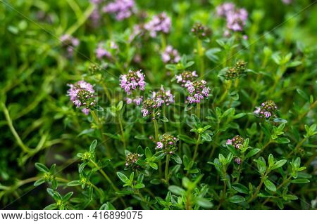 Botanical Collection, Purple Blossom Of Medicinal And Aromatic Plant Satureja Or Thyme Close Up