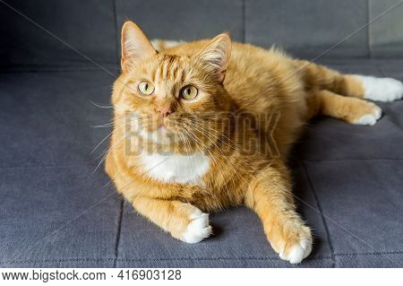 Red Cat. The Cat Is Clean Healthy Groomed. Beautiful Domestic Red Cat.