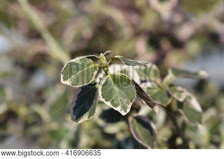 Wintercreeper Emerald Gaiety - Latin Name - Euonymus Fortunei Emerald Gaiety