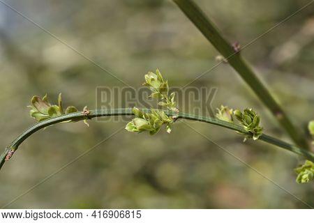 Winter Jasmine Leaves - Latin Name - Jasminum Nudiflorum