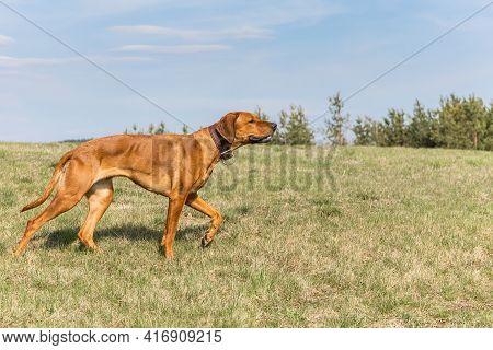 Beautiful Female Dog Rhodesian Ridgeback Hound Puppy Outdoors On A Meadow.  Rhodesian Ridgeback Dog