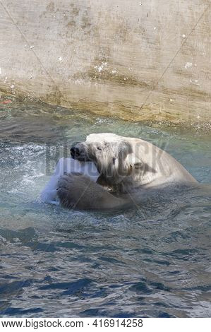 Polar Bears Frolic In The Zoo Pool, Anticipating The Approach Of Spring  Bear, Polar, Animal, White,