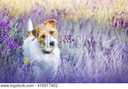 Happy Walking Cute Pet Dog Puppy Listening Ears In A Purple Lilac Lavender Flower Herb Field In Summ