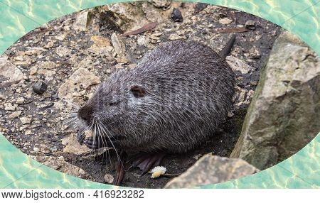 Close-up Of Nutria Or Koipu Or Marsh Beaver, A Mammal Of The Order Of Rodents, The Only Species Of T