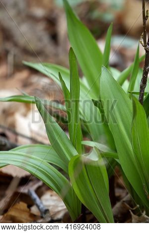 Wild Ramps - Wild Garlic ( Allium Tricoccum), Commonly Known As Ramp, Ramps, Spring Onion, Wild Leek