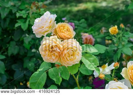 Inflorescence Of English Yellow Roses Of The Golden Celebration Variety. Blooming Branch Against Blu
