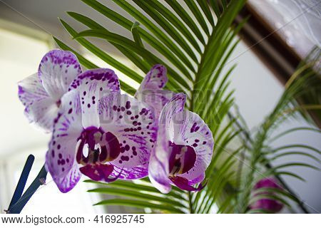 Orchid Flower Symbol. Orchid Flower In House Garden At Winter Or Spring Day For Christmas And Happy