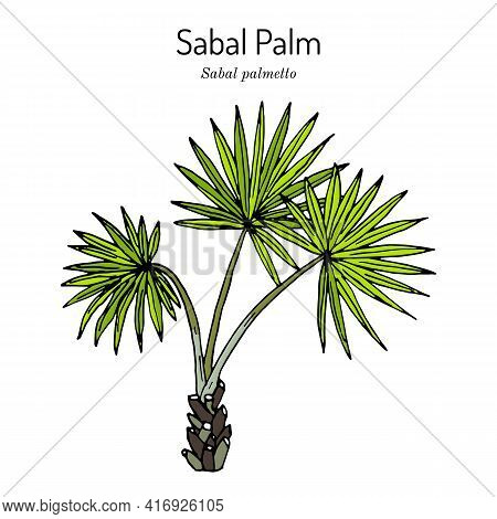 Sabal Palm, Or Cabbage-palm Sabal Palmetto , State Tree Of Florida And South Carolina. Hand Drawn Bo