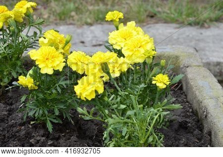 A Bed Of Beautiful Yellow Marigolds