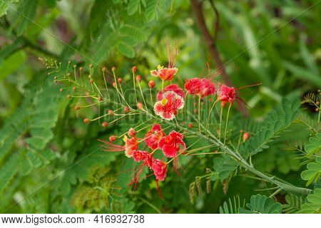 Racemose Inflorescence Of The Bright Red Flowers Of The Tropical Plant Caesalpinia Pulcherrima
