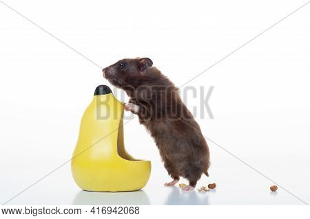 Domestic Hamster And His Feeder. The Hamster Is Looking For Food. Hamster On A White Background.