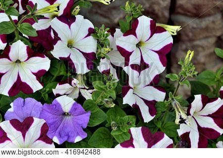 Bicolor Petunia Flowers In The Garden Close Up. White Purple And White Magenta Colored Flowers Of Pe
