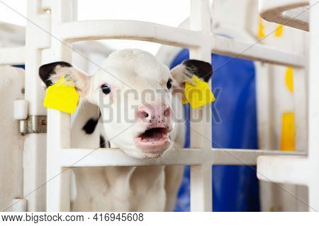A Cute White Calf In A Calf Barn At A Dairy Farm, Mooing With An Open Mouth. Calf Head Close-up. Mil