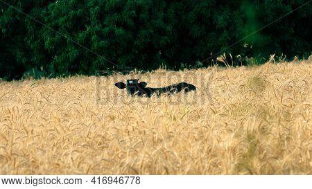 A Black Cow Eat Grains In Grain Crop