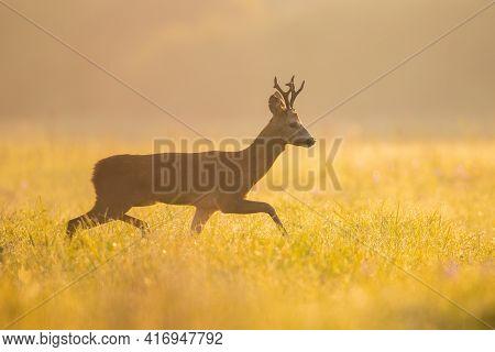 Roe Deer Buck Walking On Meadow In Summer Morning Sunshine
