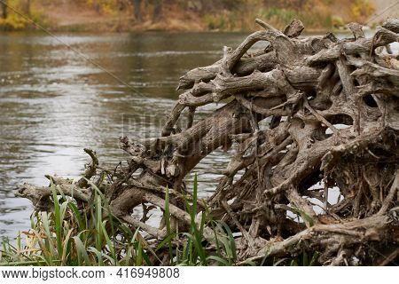 Part Of The Root System Of A Dead Tree Lying On The River Bank. The Old Tangled Roots Are Inhabited